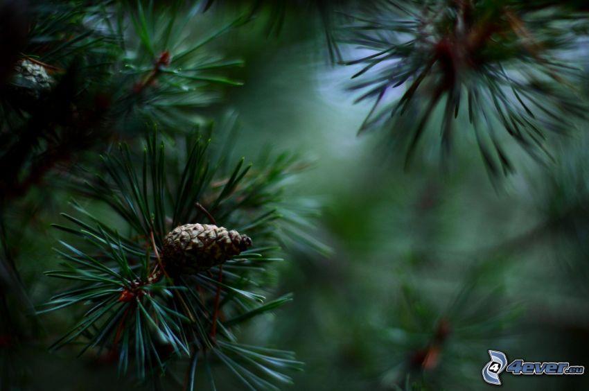 arbres conifères, cônes de conifères