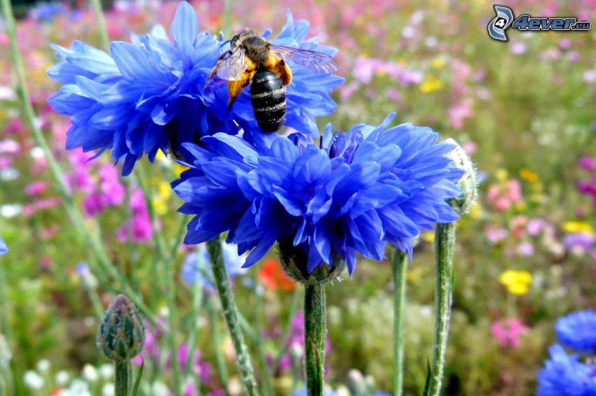bleuet, fleurs bleues, abeille