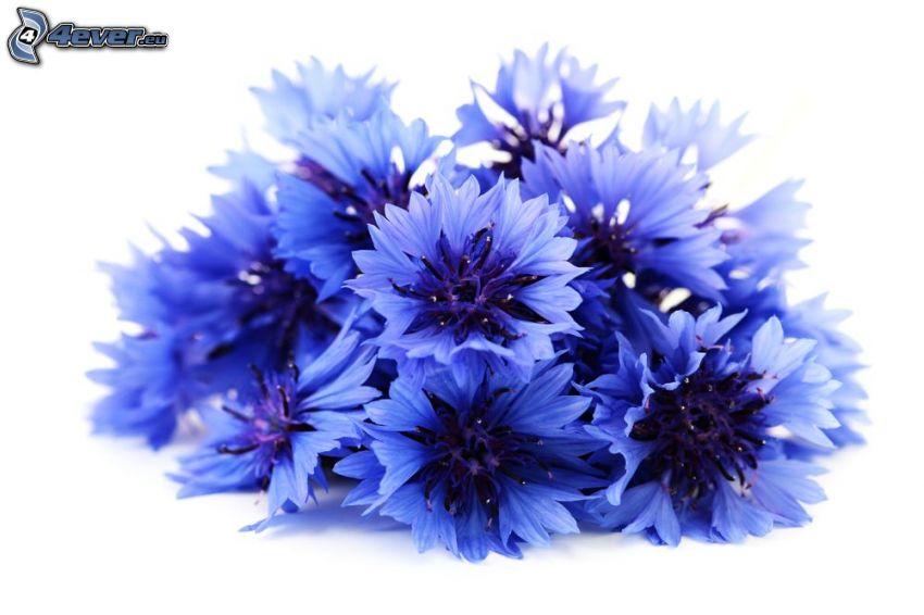 bleuet, fleurs bleues