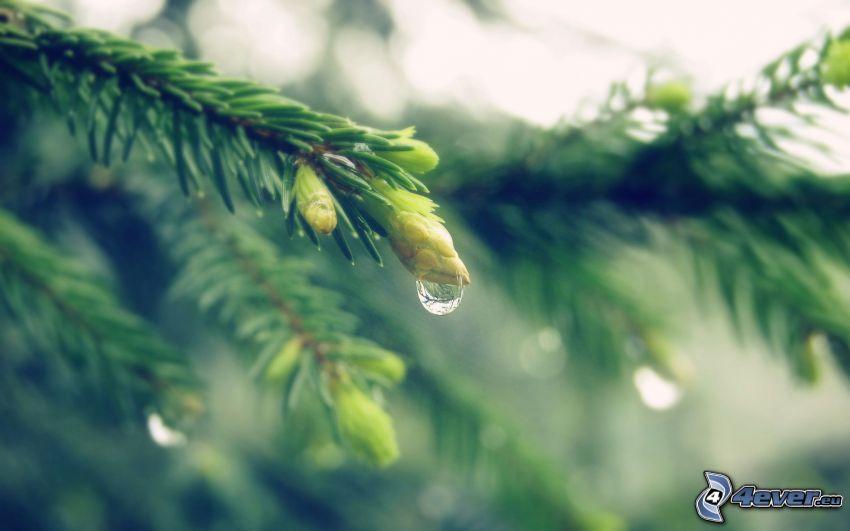 branche de conifère, gouttes d'eau