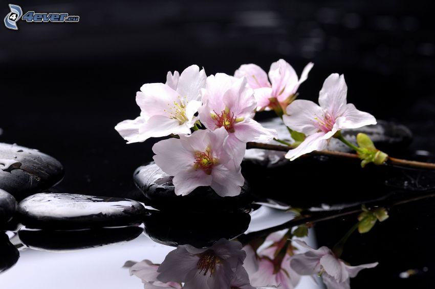 brindille en fleur, pierres, reflexion