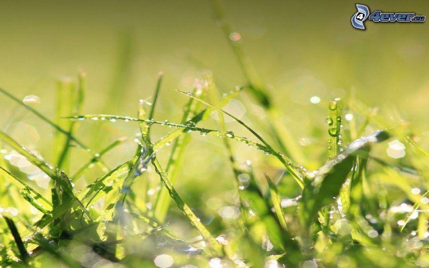brins d'herbe, gouttes d'eau