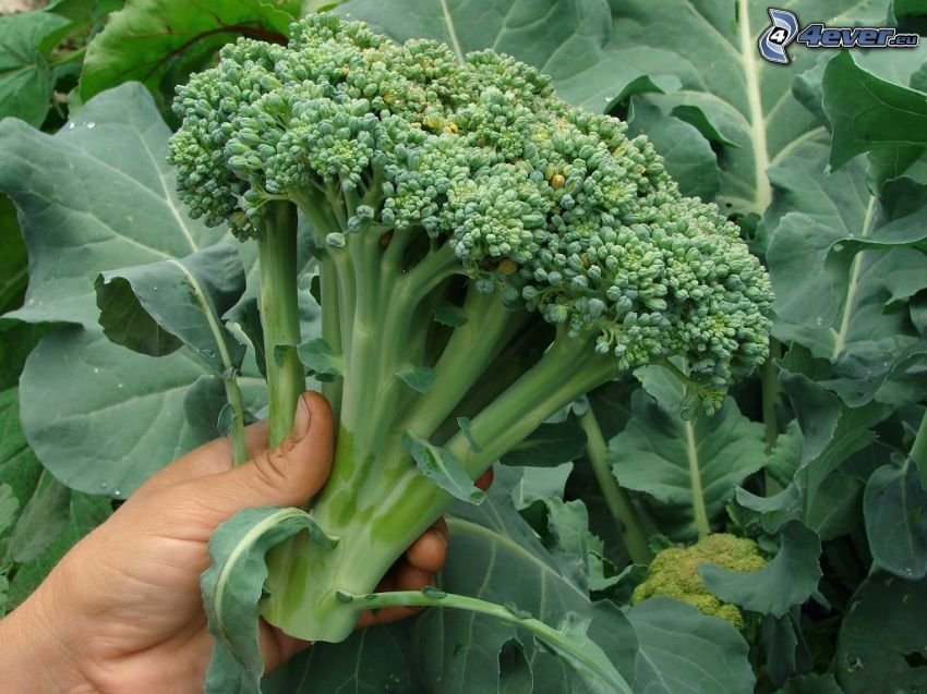 brocoli, main