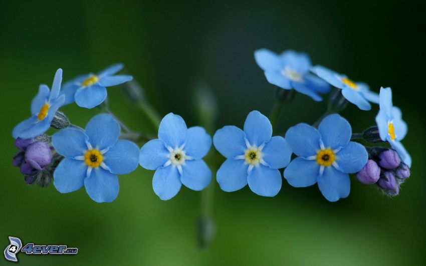 Camomille sauvage, fleurs bleues