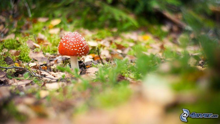 champignon rouge, les feuilles d'automne