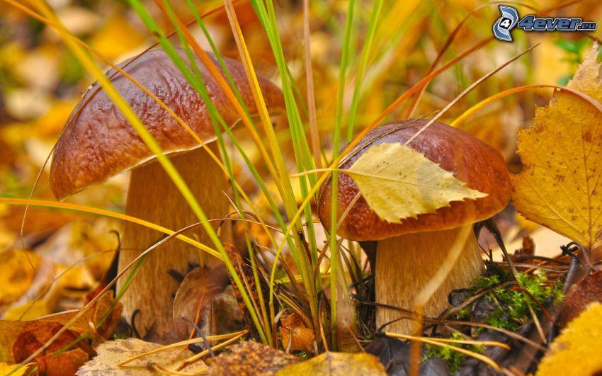 champignons, les feuilles d'automne, l'herbe