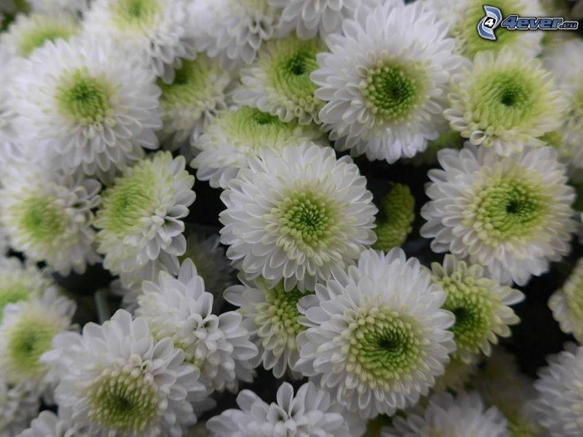 Chrysanthèmes, fleurs blanches