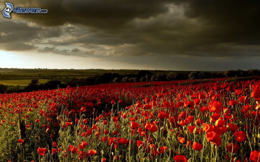 coquelicot, champ, nuages
