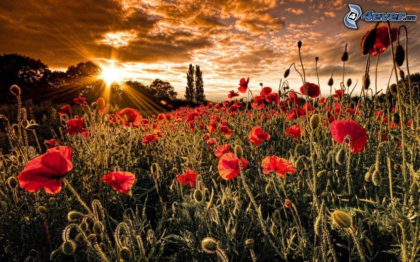 coquelicot, coucher du soleil, nuages