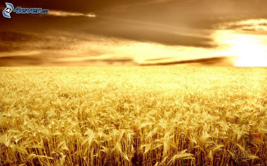 coucher du soleil dans le champ, champ de maïs, champ de blé, ciel sombre