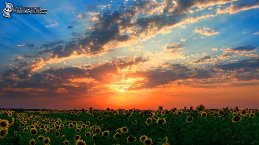 Coucher du soleil sur le champ, champ de tournesol, ciel du soir