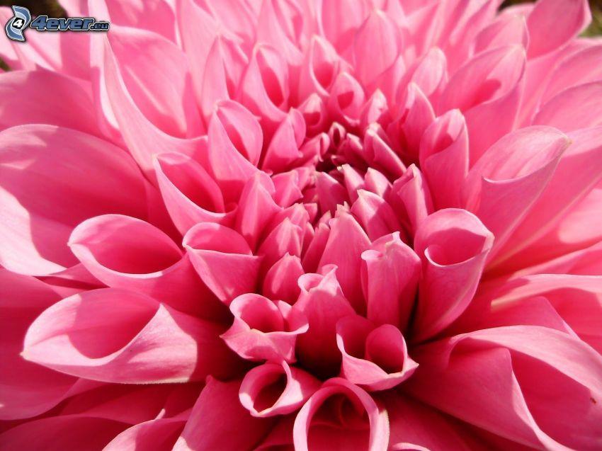 dahlia, fleur rose