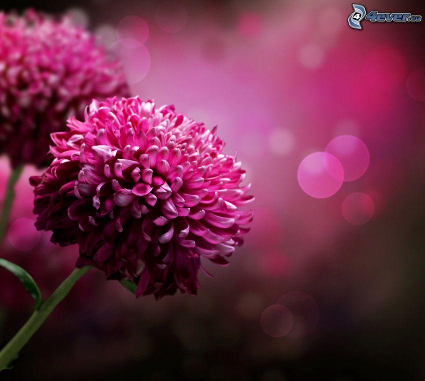 dahlia, fleurs roses