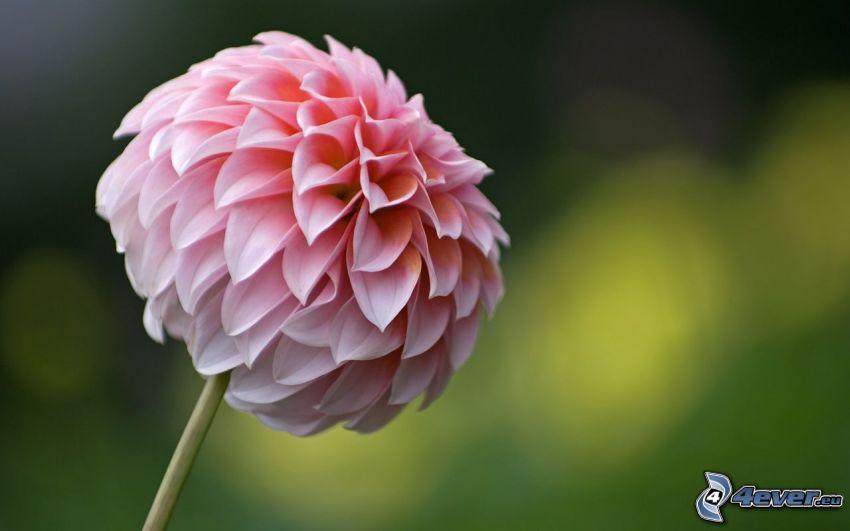 Dahlia rose, fleur