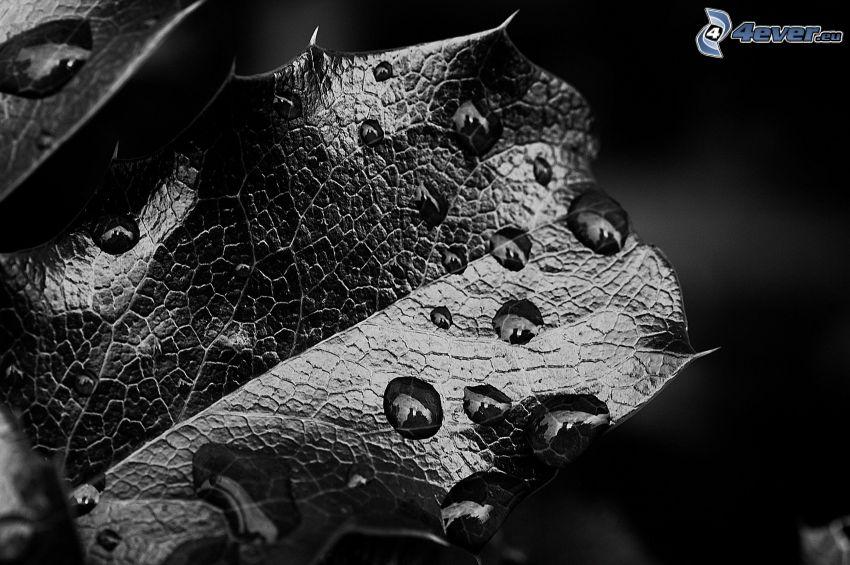 feuille rosée, photo noir et blanc