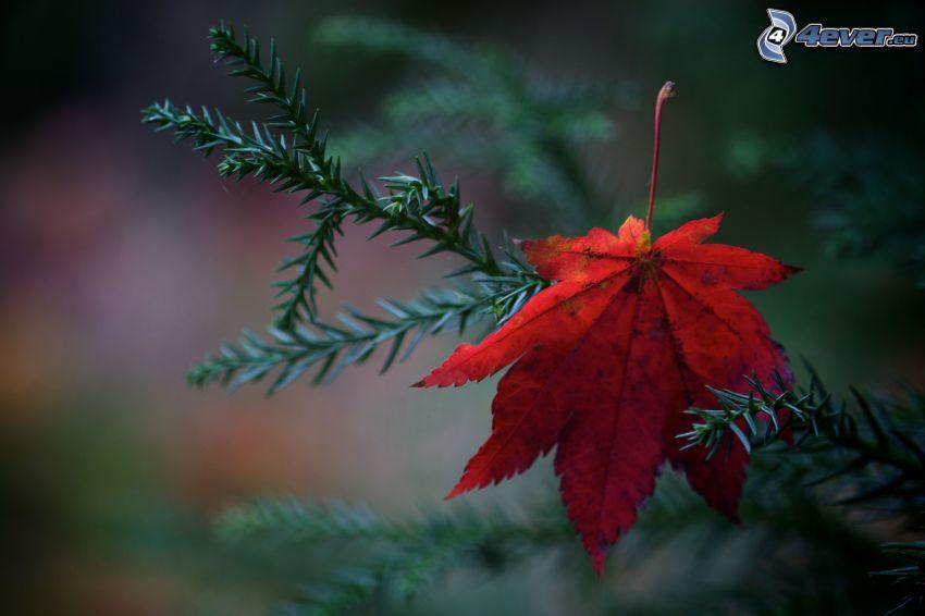 feuille rouge en automne, branche de conifère, brindille