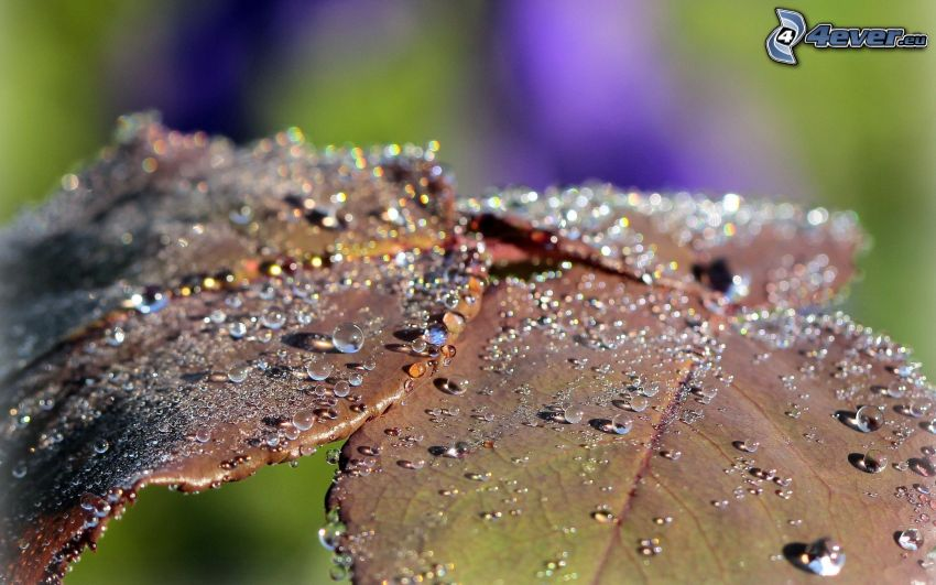 feuilles couvertes de rosée, gouttes d'eau