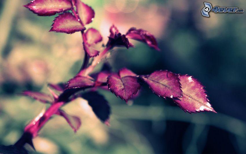 feuilles pourpres, rose
