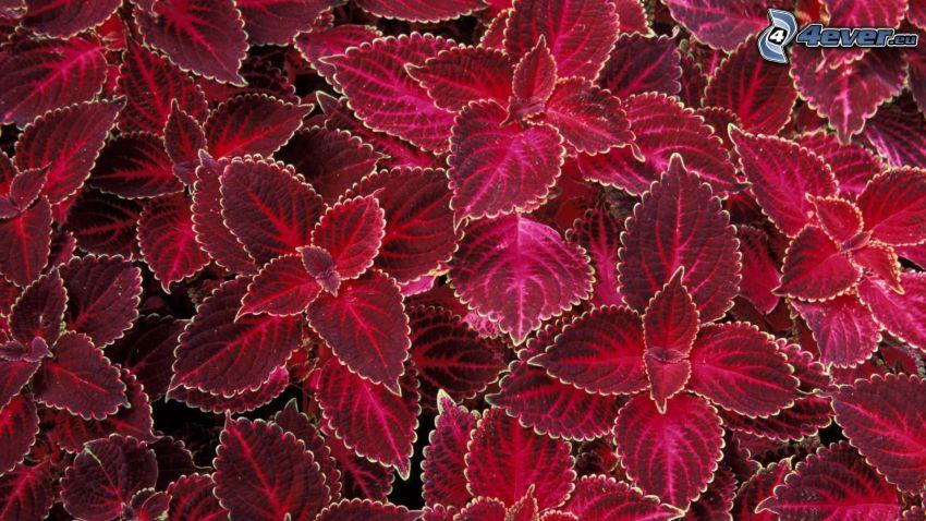 feuilles pourpres
