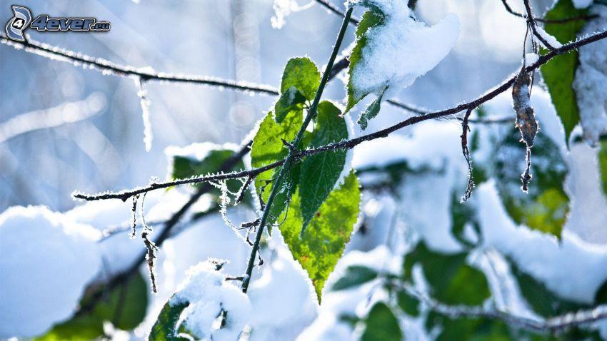 feuilles vertes, brindille, neige