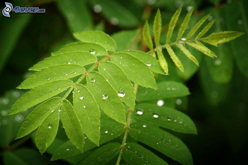 feuilles vertes, gouttes d'eau