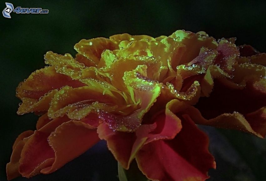 fleur, gouttes d'eau, macro