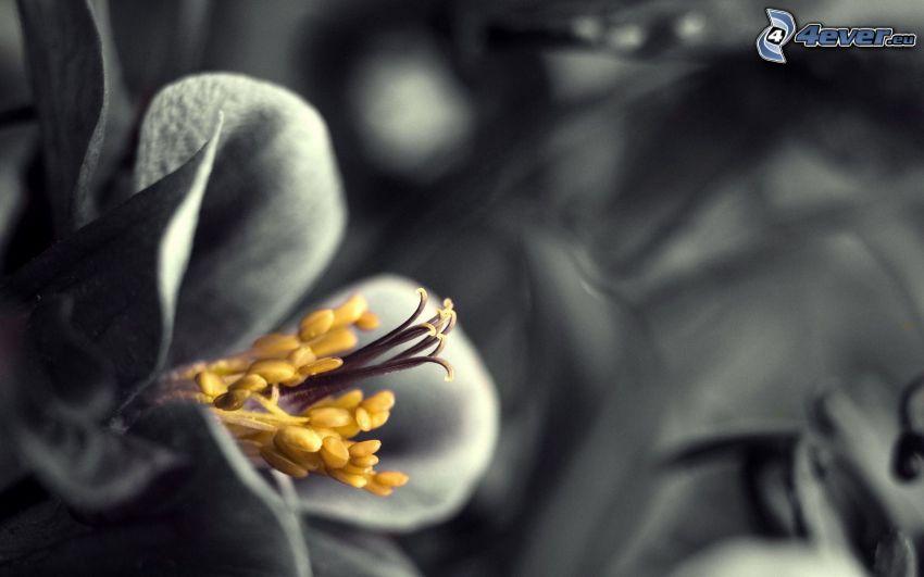 fleur, macro, noir et blanc, Photoshop