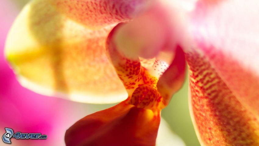 fleur, macro