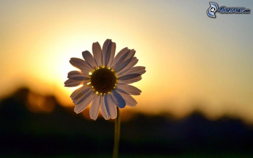 fleur blanche, coucher du soleil, ciel jaune