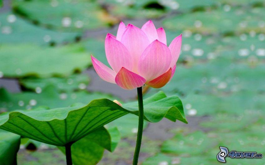 fleur de lotus, fleur rose, nénuphars