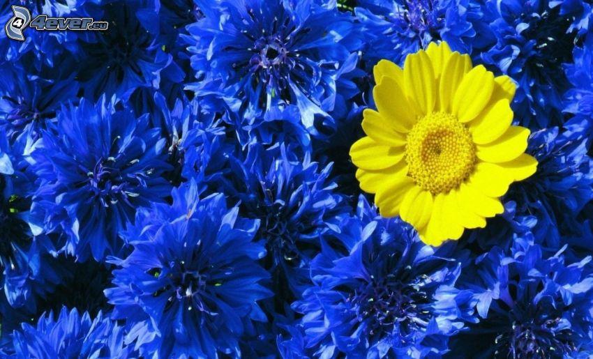 fleur jaune, fleurs bleues