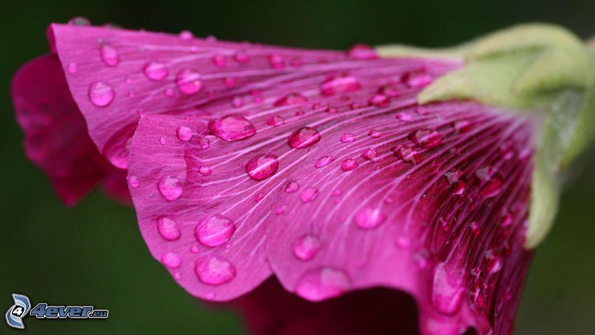 fleur rose, fleur violette, gouttes d'eau, macro