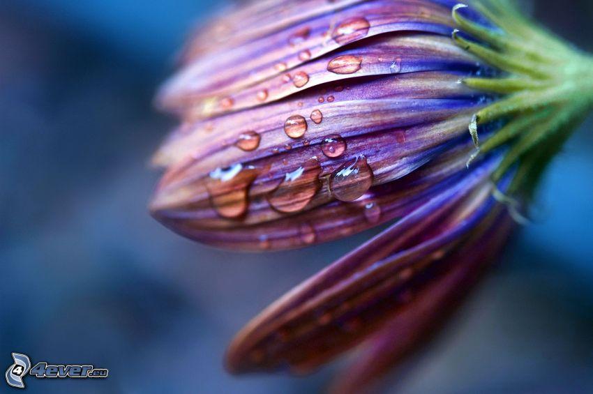 fleur violette, gouttes d'eau, pétales