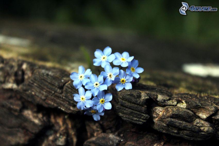 fleurs bleues, bois