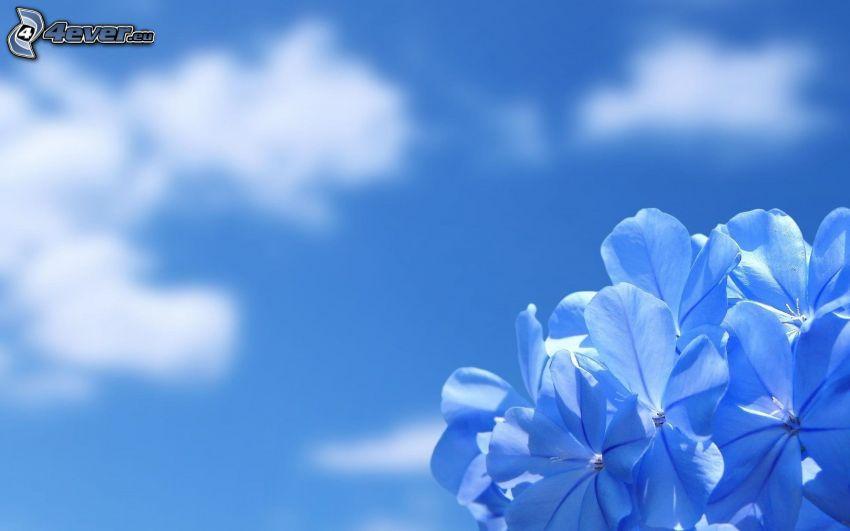 fleurs bleues, ciel