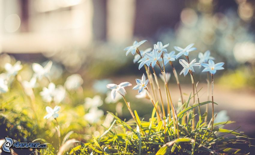 fleurs bleues, l'herbe