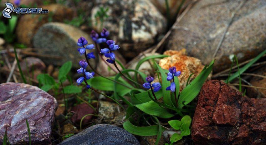 fleurs bleues, pierres