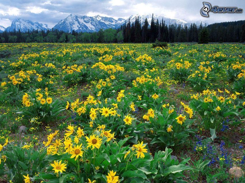 fleurs jaunes, fleurs bleues, montagnes enneigées