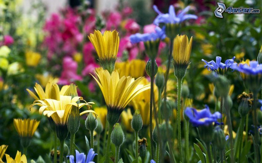 fleurs jaunes, fleurs bleues