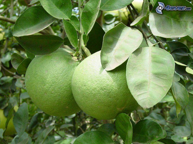 pomelos, arbre