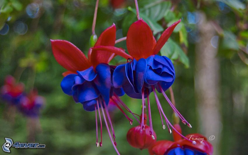 Fuchsia, fleurs bleues