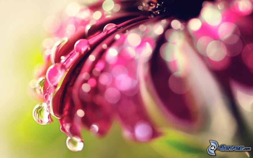 gerbera, fleur