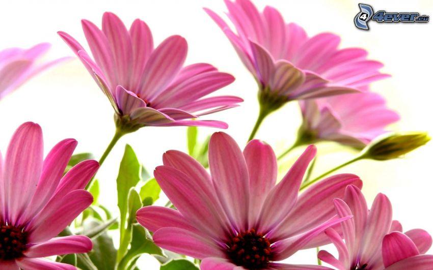 gerbera, fleurs roses