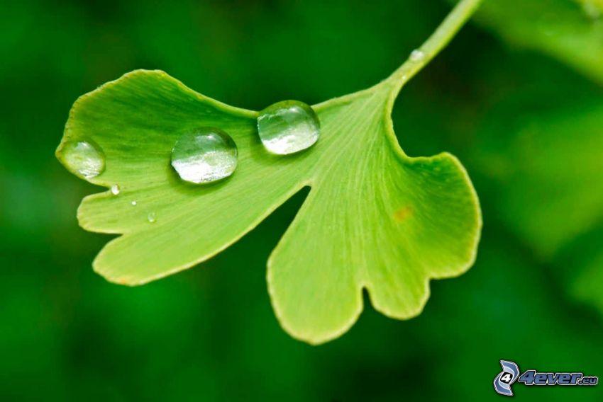 ginkgo, gouttes d'eau, feuille verte
