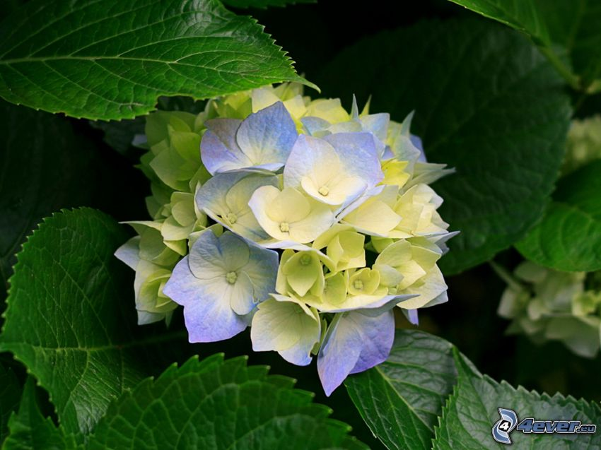 hortensia, fleur, feuilles