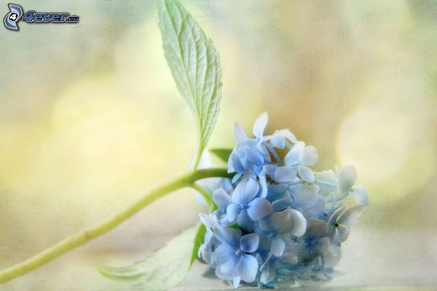 hortensia, fleur bleue