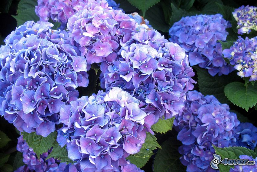 hortensia, fleurs bleues