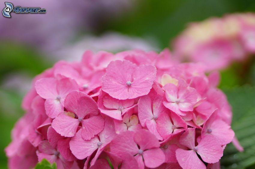 hortensia, fleurs roses