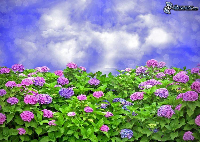 hortensia, fleurs violettes, ciel, rayons du soleil