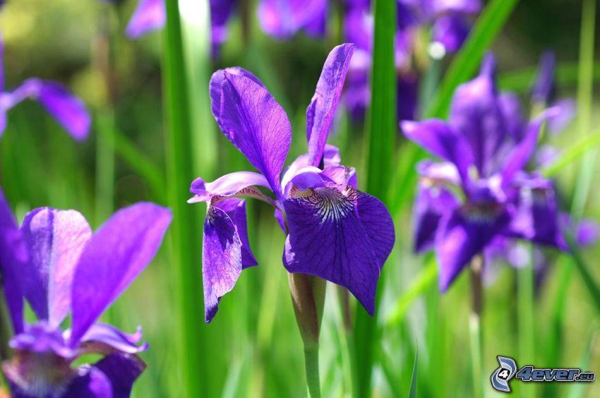 iris, fleurs violettes